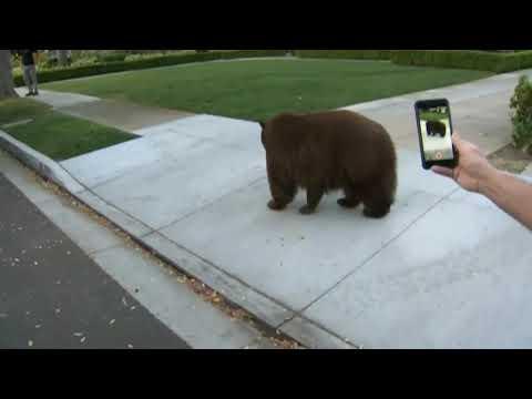 Bear on the loose in Monrovia, Calif.