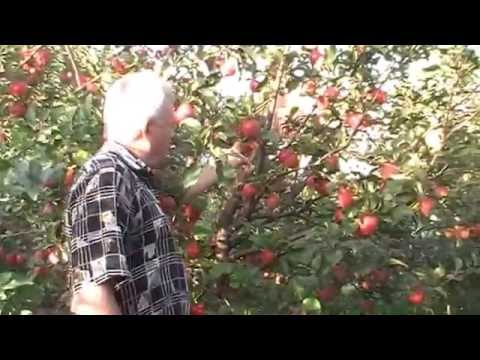 Позднелетние сорта яблонь, краткое описание, плодоношение в питомнике плодовых Сад.