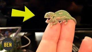 Camaleón Bebé Cambiando De Color, 1 Día De Edad