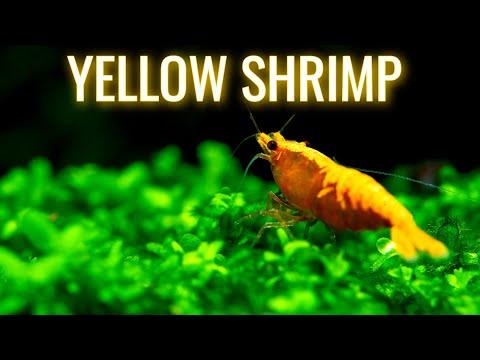Finish 20g Aquarium Rack 🐠 Yellow shrimp 🐠 Tropheus update 🐠  Feeding Gammarus