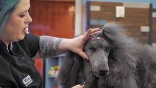 Standard Poodle with Lori Craig Part 1