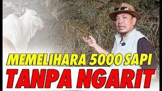 MEMELIHARA 5000 EKOR SAPI TANPA PAKAN RUMPUT