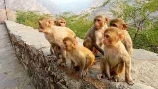 Monkey Temple - Adam The Alpha Male