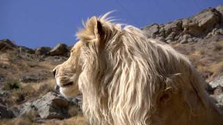 Lufuno the White Lion - HD 720p