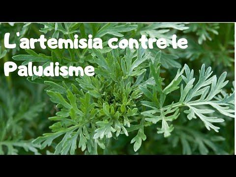 La plante d'artémisia, une solution (coût zéro) au paludisme?