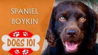 Dogs 101  SPANIEL BOYKIN  Top Dog Facts About the SPANIEL BOYKIN