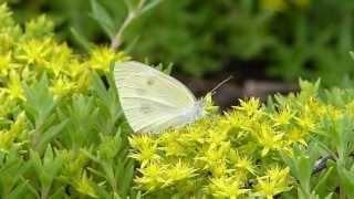 Small Cabbage White on Stonecrop モンシロチョウがツルマンネングサに訪花吸蜜