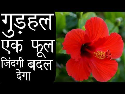 जबरदस्त फूल | औषधि भंडार | गुड़हल, एक फूल आपकी जिंदगी बदल देगा Hibiscus Benefits