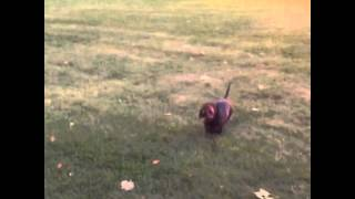 Dachshund Hunting Rabbit