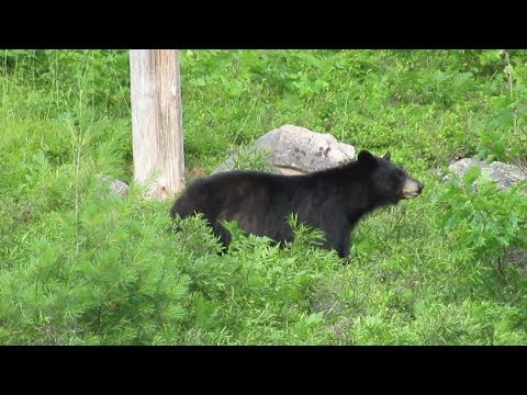 Don't Do This If You See a Black Bear in The Wild . Algonquin Park Canada is NOT a Petting Zoo