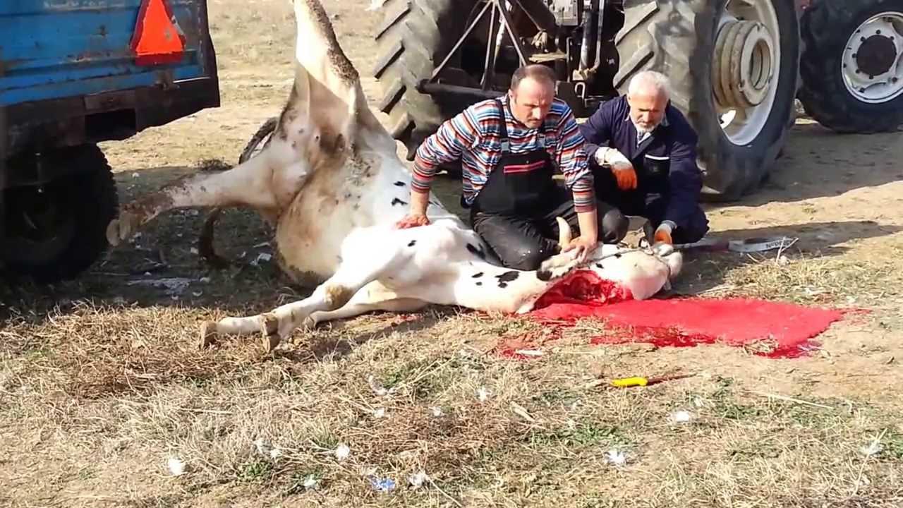 Tekirdağ yağcılar köyü Kurban kesimi - YouTube
