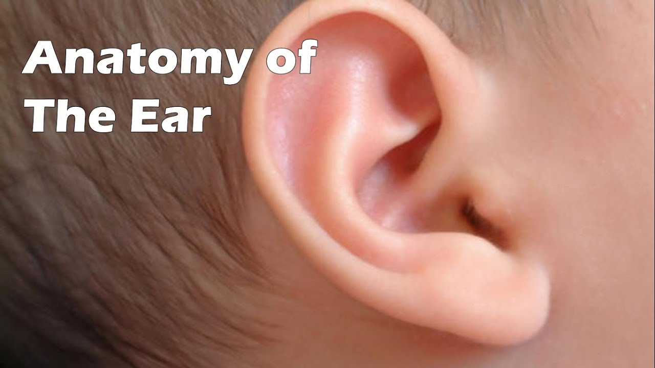 Anatomy of the Ear - YouTube