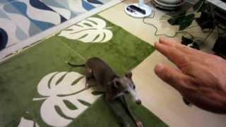 イタリアングレーハウンド リュウの芸を見てください 覚えの良い犬で、...