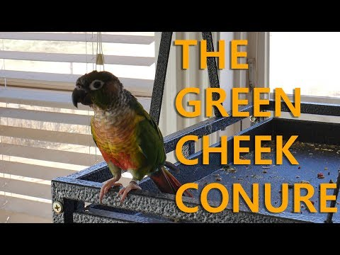 Why Green Cheek Conures Are Good Birds