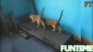 Кошки занимаются в качалке! Cats in the gym!