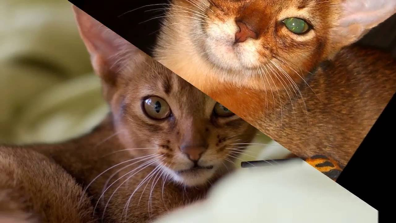 Abyssinian Cat Origin