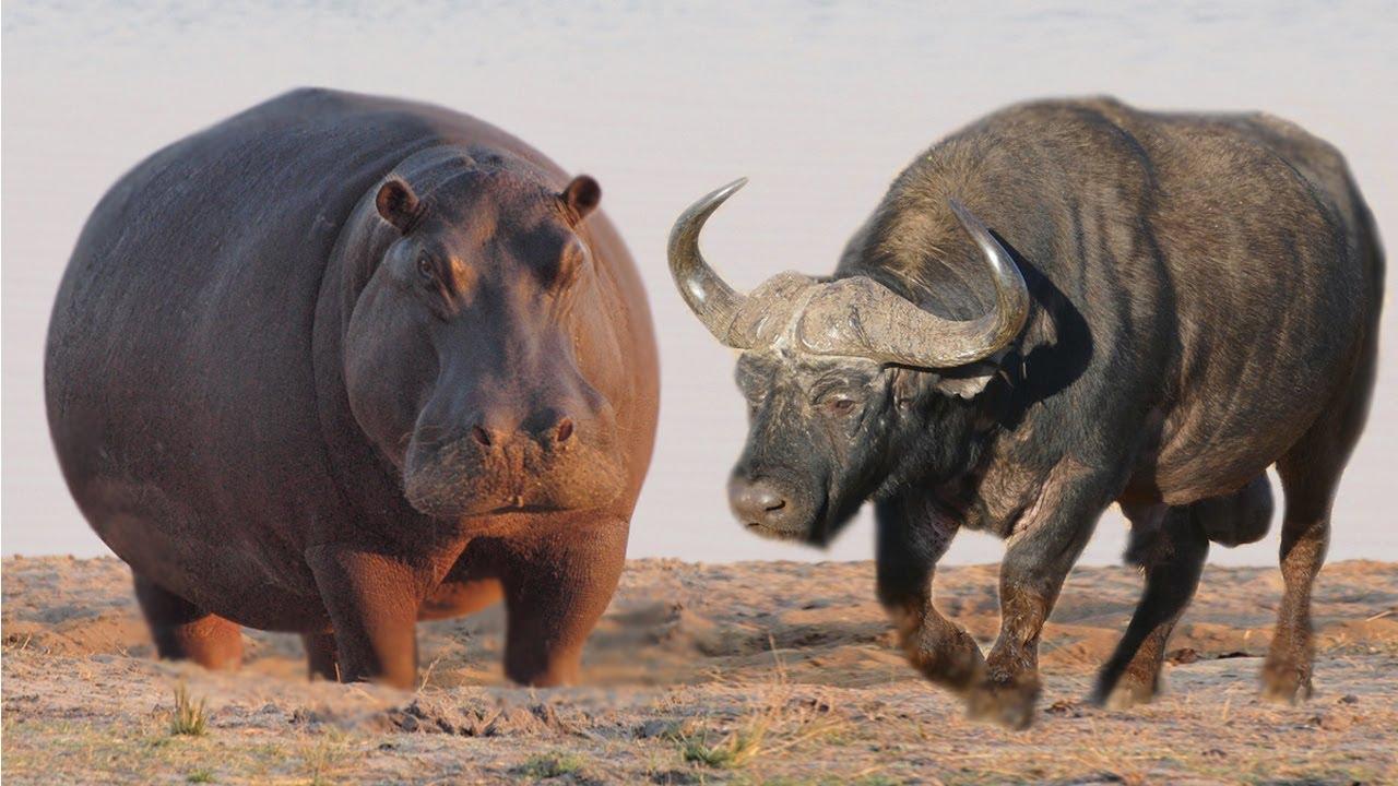 Kuda Nil vs Kerbau Afrika | Mari Kita Bandingkan!