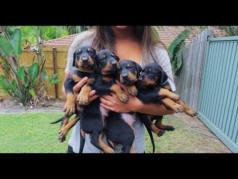 Doberman Puppies: Birth to 8 weeks old