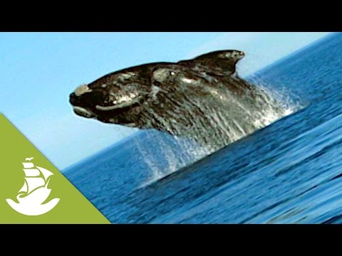 The return of the Southern Right Whales