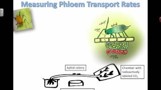 Measuring phloem transport rates (2016)