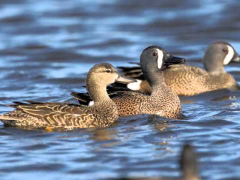Blue-winged Teal - Duck Species Profile - YouTube - photo#34