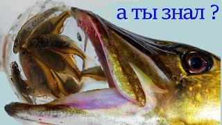 Рыбалка на ТЕЛЕВИЗОР Забытый Секрет ловли щуки из СССР