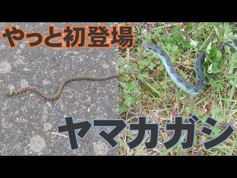 まだまだ終わらない秋のヘビ探し