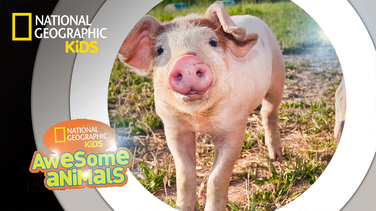 Hog Genius | Awesome Animals