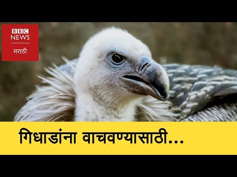 Vulture Conservation Breeding (BBC News Marathi)