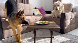 Leaving My Golden Retriever and German Shepherd Alone with Food