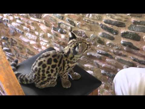Ocelot kitten in Honduras