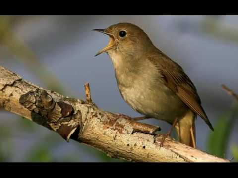 NIGHTINGALE SONG- 4 hours REALTIME Beautiful Nightingale Singing ,Birdsong,Nature sounds,part1.