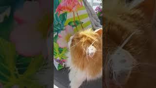 Persian cat Alma watching birds at balcony