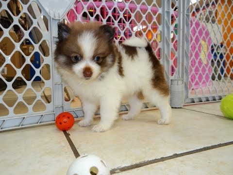 Pomeranian Puppies Dogs For Sale In Charlotte North Carolina