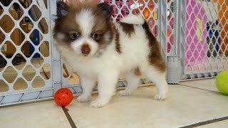 Pomeranian, Puppies, For, Sale, In, Raleigh, North Carolina, Nc, Lumberton, Kernersville, Mint Hill,