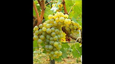 CAVALL Premium Mexican Wine - YouTube