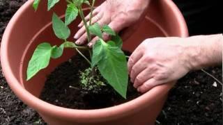 Tomaten in Kübeln pflanzen.mpg