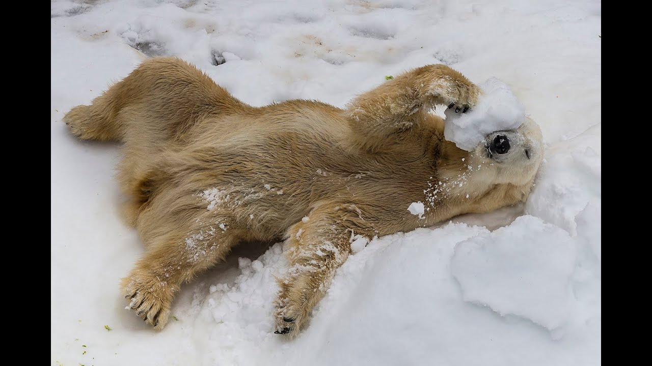 Polar Bears Play in Snow for Centennial Celebration