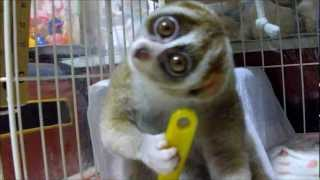 Brushing Slow Loris thumbnail