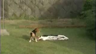 ビーグル犬とバセットハウンド犬との戦い?です。はたして勝者はどっち...