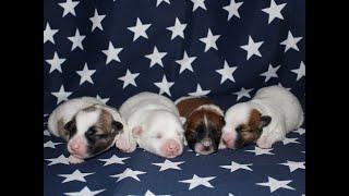 Coton Puppies For Sale - Vivian 7/2/20