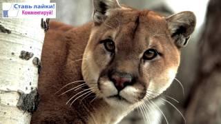 Кугуар (Горный лев)/Cougar (Mountain lion)