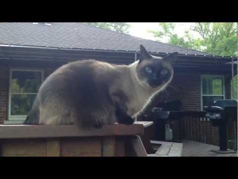 Oscar the Siamese Cat Meows and Talks
