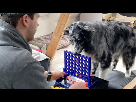 Australian Shepherd Plays Games With Owner