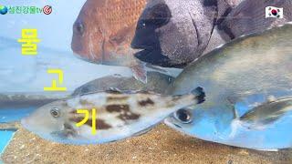 물고기 #바다고기#줄돔#병어돔#참돔#쥐치#광어#뽈락#낚…