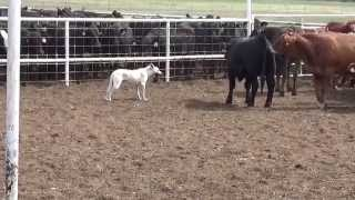 Snow Video / Select Cattle Dog Sale Promo