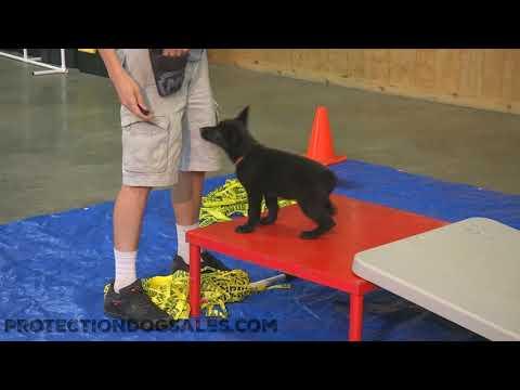 Black german shepherd puppy for sale | German Shepherds