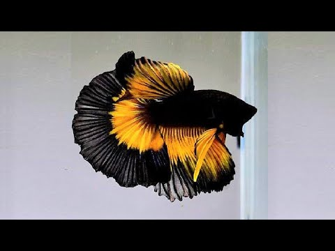10 Most Beautiful Betta Fish In The World