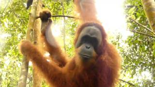 Close encounter with Sumatran Orangutan