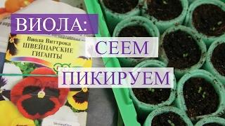 Виола (анютины глазки). Посев и пикировка виолы. (01.02.17)